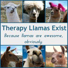 10 Reasons Llamas Make the Best Therapy Animals