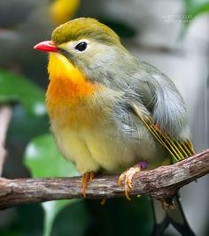 Peking Robin