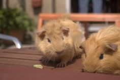 Putting 2 boy Guinea pigs together
