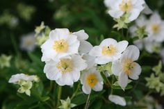 Carpenteria californica is a medium-sized evergreen shrub with glossy foliage and showy white flowers native to northern California and Southern Oregon Google Image Result for http://www.crocus.co.uk/images/products2/PL/00/00/00/06/PL0000000691_card_lg.jpg