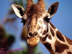 Muito prazer, eu sou a girafa!