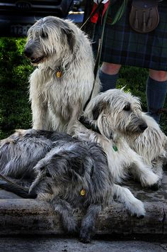3 Irish Wolfhounds - Waiting for the start of a Highland Festival Parade in Estes Park, Colorado - USA