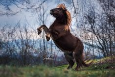 Shetland Pony zeigt Kunstück   Shetlandpony steigt   Schweizer Pferdefotografie   Pferdefotografie im Winter   Pferdefotografie    Pferdefotos   horse photography   horse photography ideas   Pferdefotografie Ideen horse    Pferd   Horse