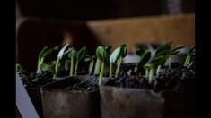 Azi, vă arăt cum fac eu răsadurile de castraveți, în 3 zile, și cum mulcesc plantele din ghiveci, cu mușchi de pământ. Plant