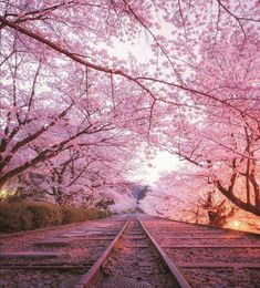 Photographer Koji captures the beauty of Japan's cherry blossom season in full bloom, showing the landscape covered with blankets of beautiful pink flowers. Places To Travel, Places To Visit, Cherry Blossom Season, Cherry Blossoms, Japan Architecture, Aesthetic Images, Beautiful Gardens, Beautiful Scenery, Beautiful Landscapes