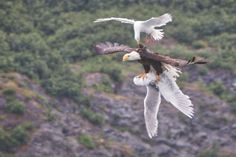 """EAGLE vs. GULLS  You think the crow riding an eagle was special? U.S. Department of the Interior shows this picture on its FB site: """"Check out this epic aerial battle between a bald eagle & two seagulls. David Canales captured this once-in-a-lifetime photo from his kayak on Prince William Sound in Alaska while on an 11-day expedition from Valdez to Whittier.""""  It did not end well for the lower gull ..."""