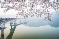 월영교와 벚꽃
