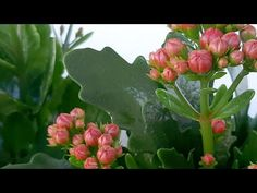 Kalanşo çiçeği Nasıl Çiçek Açtırılır. Kalanşo Çiçek Açma Zamanı. #kalanşo#neden#çiçekaçmaz# - YouTube Dish Garden, Baby Knitting Patterns, Gerbera, Succulents, Flowers, Plants, Youtube, Beautiful Flowers, Bonito