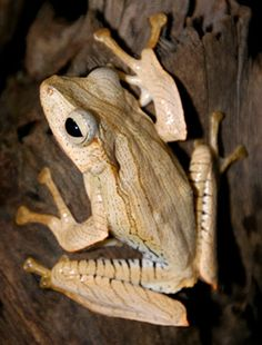 File-eared Tree Frog also called the Borneo eared frog. These frogs have prominent ridges above and behind their eye and ear area. Parts of Indonesia and Malaysia, including Borneo