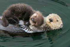 Tiere BABY SEA OTTER and Mom Photo Baby Animal Nursery Art Print Animal Nursery Decor Baby Animal Photo Animal Wall Art Sea Otter Pup Photo animals Animal art baby baby animals adorable decor Mom nursery otter Photo print Pup sea Tiere Wall Cute Funny Animals, Cute Baby Animals, Animals And Pets, Nature Animals, Mother And Baby Animals, Animals Kissing, Animals Sea, Colorful Animals, Smiling Animals