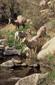 California - Anza-Borrego Desert State Park - Desert Bighorn Sheep