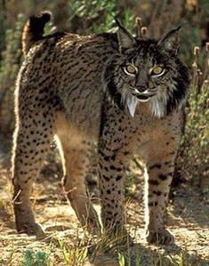 Iberian lynx are Critically Endangered - Currently there are about 170 individuals an absolute beauty Small Wild Cats, Small Cat, Big Cats, Cool Cats, Cats And Kittens, Rare Animals, Animals And Pets, Beautiful Cats, Animals Beautiful