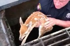 Police officer rescues tiny baby deer from storm drain