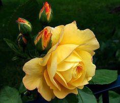 rosa amarela                                                                                                                                                                                 Mais
