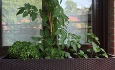 La tomatera no para de crecer ... Growing and Growing #tomato #urbangarnden #slowlife #slowfood #tomate #huerto #crecer #maria #letsgarden