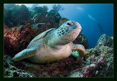 Sea Turtle - Marine Life on Photography Served Underwater Plants, Underwater World, Happy Fishing, Sea Diving, Tortoise Turtle, Turtle Love, Deep Blue Sea, Wildlife Nature, Sea World