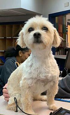 Houston Tx Poodle Miniature Meet Karla A Pet For Adoption Pet Adoption Dog Pounds Pets