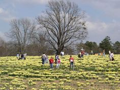 Wye Mt. Daffodils, I've been going there every year since I can remember, at one time not everyone knew about it, but so glad you get to share seeing it's beauty with me (:
