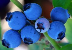 3 tips for growing blueberries: Heres what you need to know to help this fruit survive in your garden. #garden #blueberries