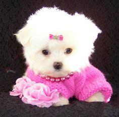 Sweet little maltese