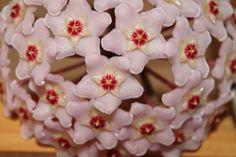 Hoya (Wax flower): Tips, Cultivation and Care - Modern Wax Flowers, Gardenias, Growing Vegetables, Burlap Wreath, Garden Plants, Garden Landscaping, Flower Arrangements, Diy And Crafts, Christmas Wreaths