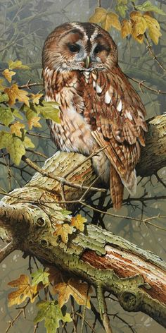 Owl - Tawny Lookout... by James Terance Bond