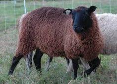 Finnish Sheep