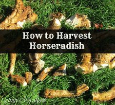 How to harvest horseradish root.  It is easy to do.  Dig. Clean. Peel.