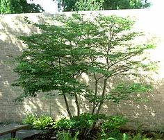 Cornus alternifolia, Pagoda dogwood small flowering tree - perfect placement against the wall to highlight beautiful structure. Indoor Flowering Plants, Flowering Trees, Trees And Shrubs, Trees To Plant, Garden Shrubs, Garden Trees, Shade Garden, Garden Plants, Pagoda Dogwood