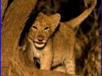 Baby Lion Wallpaper 8226 High Quality