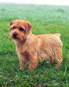 Norfolk Terrier > From Great Britain .......... Use today: Companion ........... Colours: Wheaten, Red, Black / Tan, Grizzle