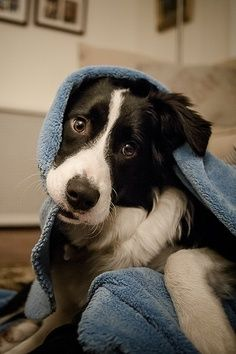 Border Collie Not Eating Or Drinking