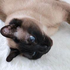 イーサン💙Love cat Ethan💙 #トンキニーズ#愛猫#猫#猫好き#猫多頭飼い#可愛い#猫のいる生活#ピクネコ#みんねこ#cat#cutecat#acatlover#catstagram#cute_e_licious