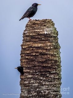 A pair of eastern starlings at Viera Wetlands, Melbourne, Florida by Nancy L Marshall