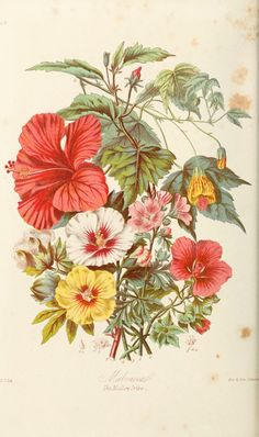 Elizabeth Twining Elizabeth Twining created botanical SciArt for her Illustrations of the Natural Orders of Plants, which you can view in Vintage Botanical Prints, Botanical Drawings, Vintage Botanical Illustration, Botanical Flowers, Botanical Art, Art Floral, Hibiscus, Art Tropical, Logo Fleur