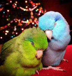 Beautiful of couple parrotlets