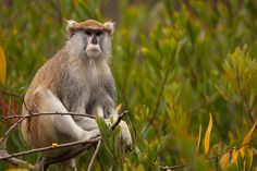This is the patas monkey! Also known as hussar monkeys, wadi monkeys, nisnas, and singe rouge. Endemic to the savannas and grasslands of West, Central, and East Africa. Long arms, legs, and narrow bodies are perfectly adapted for terrestrial life. The fastest primates on Earth, they can run up to 35 mph (55 kmh). Threatened by habitat degradation, fragmentation and loss, hunting for bushmeat, and persecution as crop pests, they are Near Threatened. Read their story!
