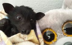 Flying Fruit Bat Baby in rehab checking out the stuffed animal he is snuggling up to.