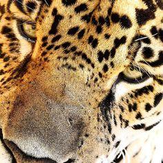 Convido todos a seguirem o IG do @christiandalgasfrisch filho do lendário conservacionista Johan Dalgas Frisch e juntos autores do livro http://www.avesbrasileiras.com.br sem sombra de dúvida uma família com um legado inestimável para o registro e conhecimento da biodiversidade brasileira!!!    #onca #onçapintada #jaguar #cangussu #oncapintada #onça #cats #wildcats #amazonia #wild #wilderness #pesca #pescador #fisherman #fishing #fish #brasil #hunting #bichosbrazil #bichos #felinoslindos…