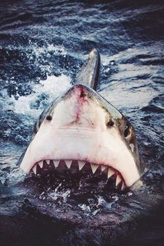 // The Great White Shark The Great White, Great White Shark, Orcas, Save The Sharks, Shark Photos, Shark Bait, Megalodon, Ocean Creatures, Shark Week