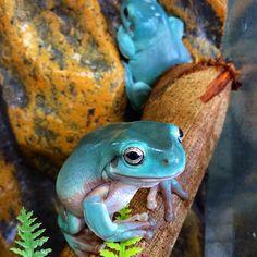 White tree frogs (Litoria caerulea) #mocreptiles #miami #whitetreefrog #frog #litoria #caerulea #frogs #frogsofinstagram #australia #amphibians #amphibiansofinstagram #reptile #reptilesofinstagram #herps #herpsofinstagram #love #animals #reptiles #nature #wildlife #wildlifephotography
