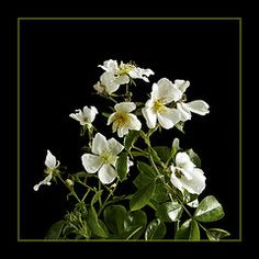 Rosas Art - Rosa filipes Kiftsgate   by Robert Murray