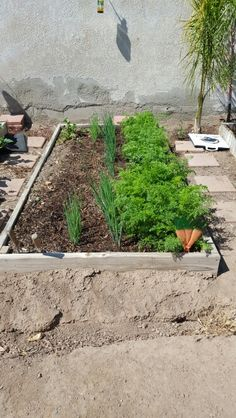 5-19-16 green onions and carrots.  Radishes have been pulled and ready to plant green beans.