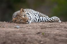 Lazy Leopard - There is no better way to end the day than with a Leopard starting his. The silky smooth shallow depth of field is all due to the Incredible Sigma 120-300mm f2.8 that I paired with a 1.4x converter resulting in a delicious f4 at 420mm.