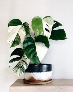 36 Unbelievable Variegated Indoor Plants with Patterns!