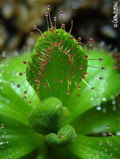 Carnivorous plant Drosera whittakeri ©Grandjean