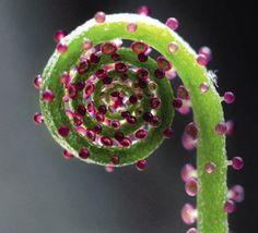 Drosophyllum lusitanicum (plante zoophage)