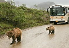 Denali Park Road   Best Alaska Wildlife Viewing Experiences