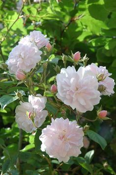 Rosa Pauls Himalayan Musk Pink Flowers Red Roses Indian Love