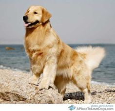 golden retriver enjoying a lovely day at the beach...and striking a nice pose for this pic